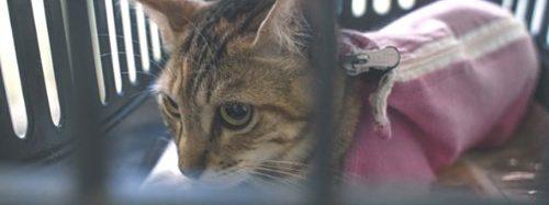 Prefeitura realiza castração de 54 gatos de rua em Canoas