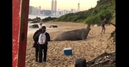 Pessoas assustam e enxotam elefante-marinho